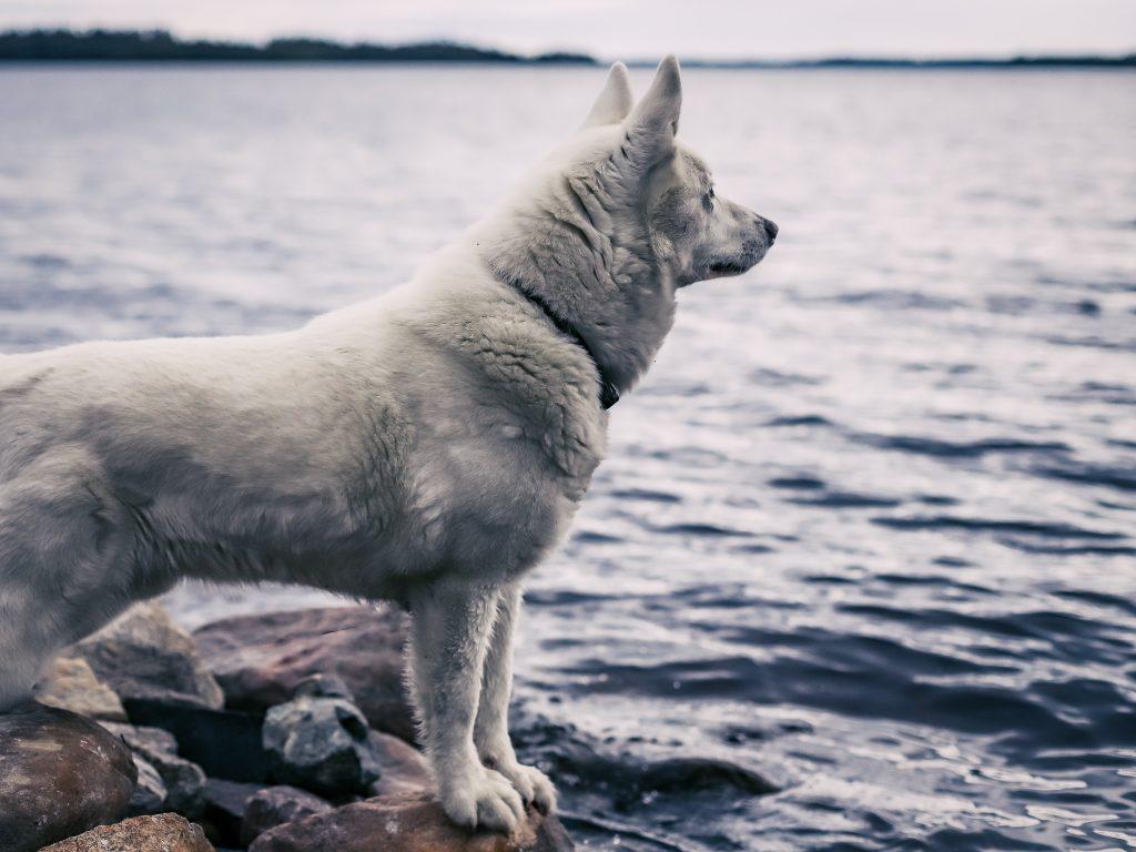 Koira katsoo järvelle.