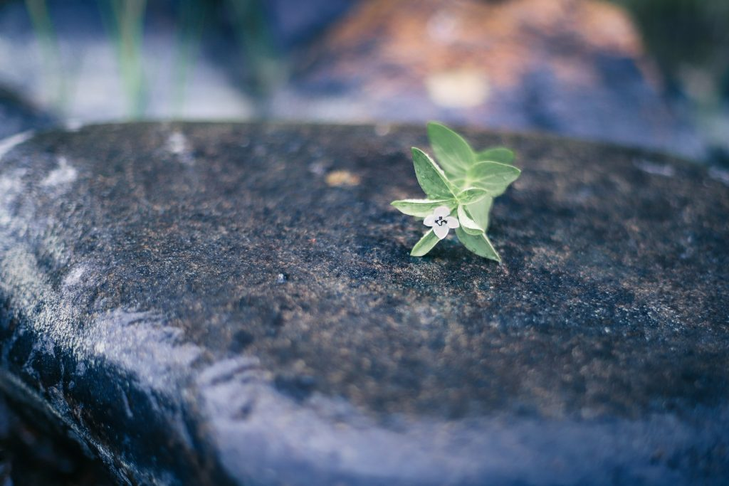 Makrokuva kukasta kivellä.
