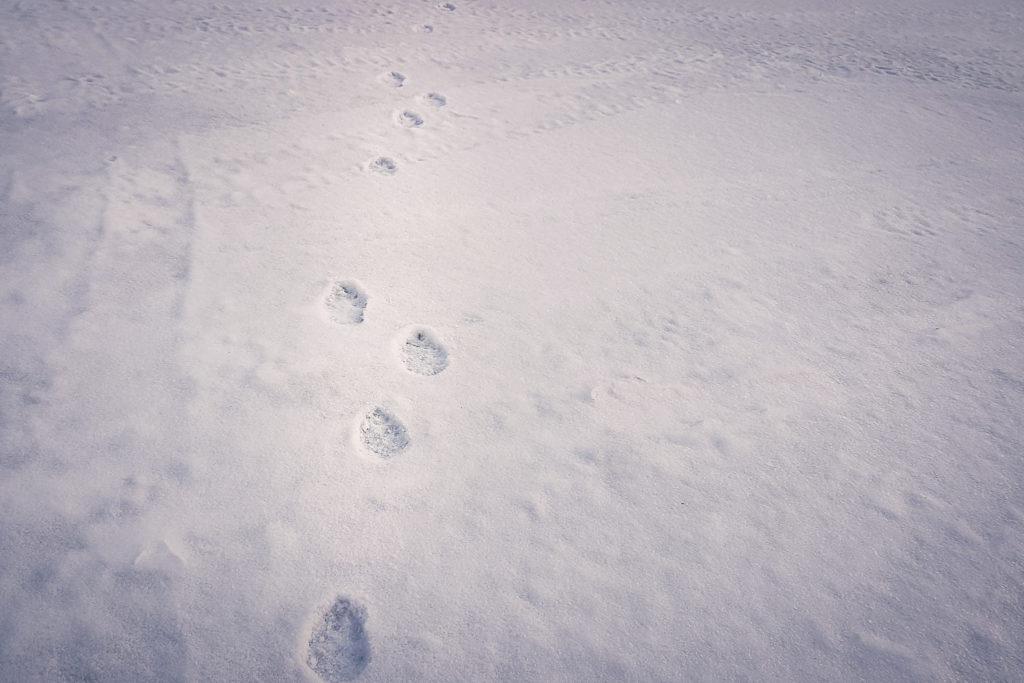Jäniksen lumijäljet hangella.