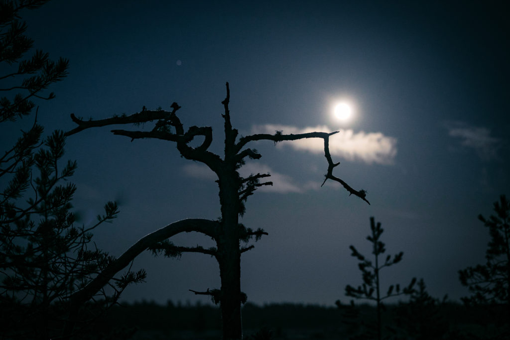 Kelopuu ja kuu suolla.