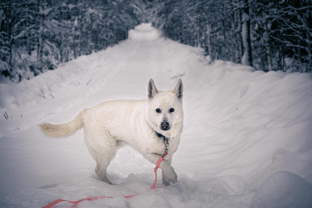 Valkoinen koira lumisella tiellä.