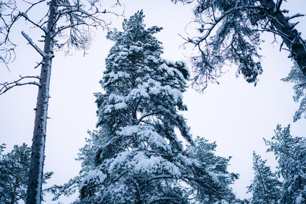 Luminen puu.