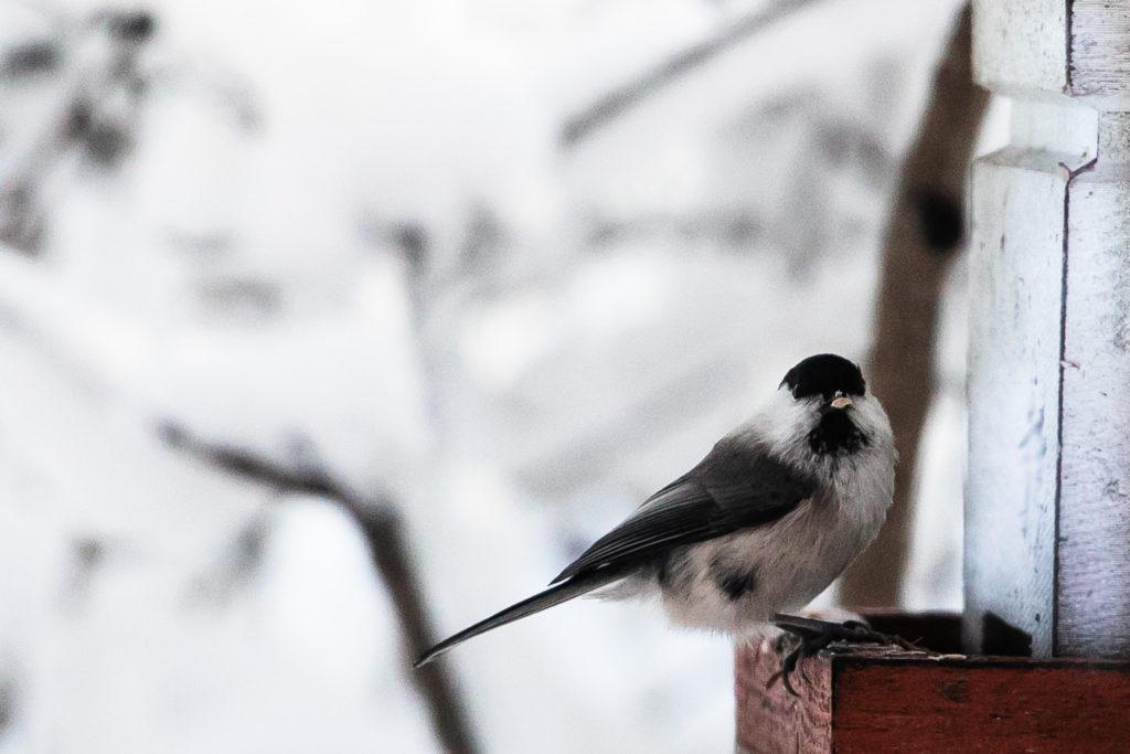 Lintujen pihabongaus, hömötiainen.