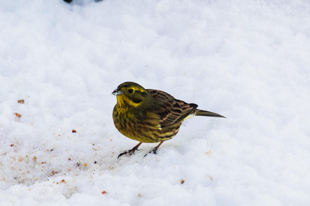 Lintujen pihabongaus, keltasirkku.