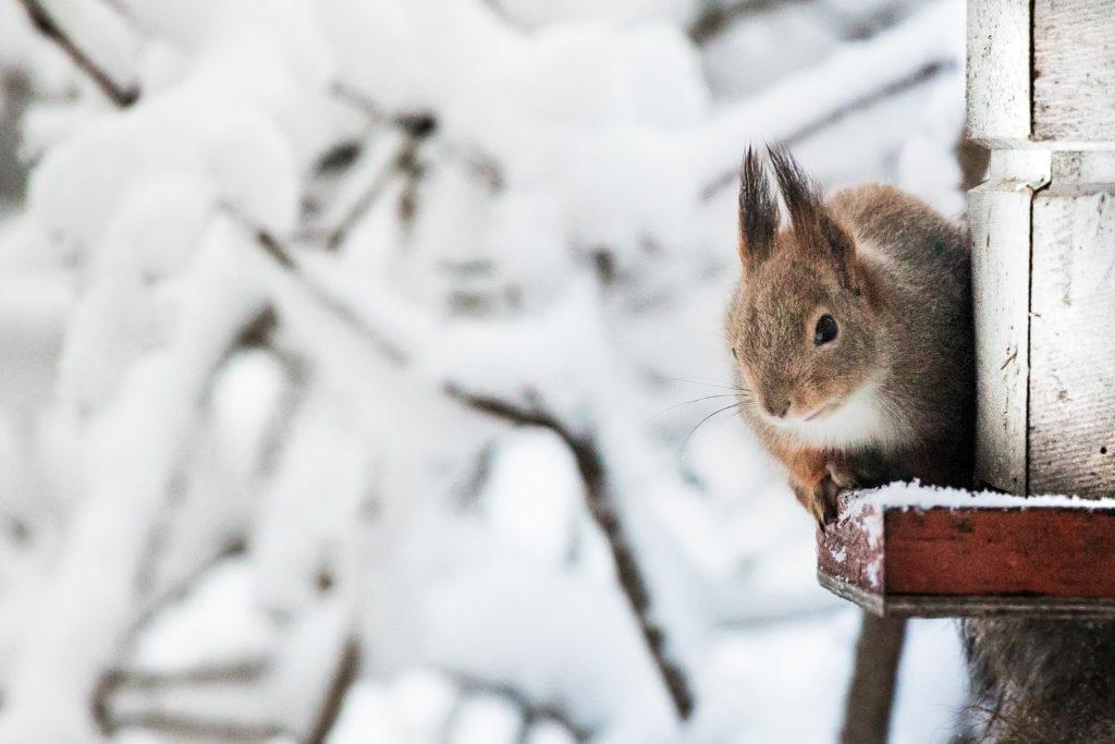 Lintulaudan vierailija, orava.
