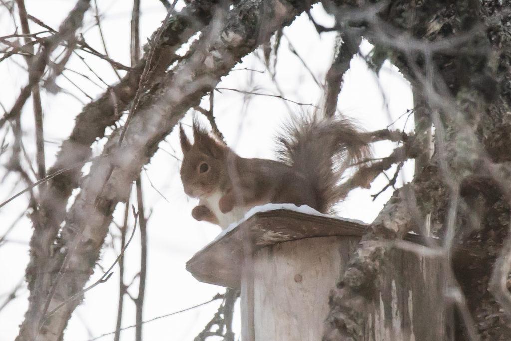 Pihabongauksen satoa, orava.