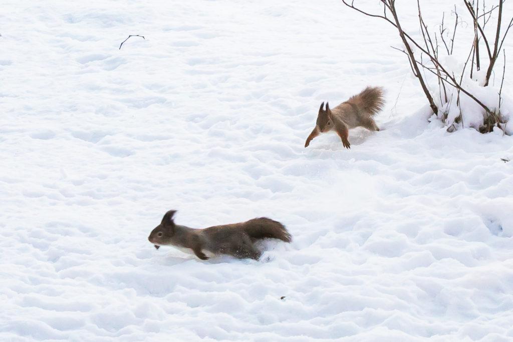 Pihabongauksen satoa, oravien tappelu.
