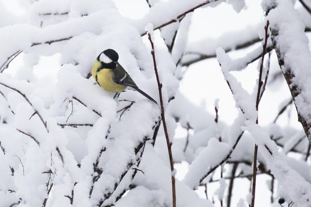 Lintujen pihabongaus, talitiainen.