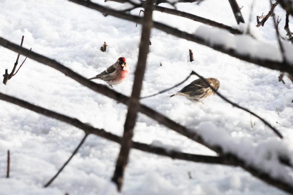 Lintujen pihabongaus, urpiainen.