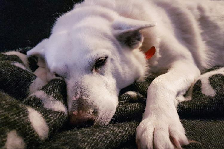 Valkoinen koira sohvalla.