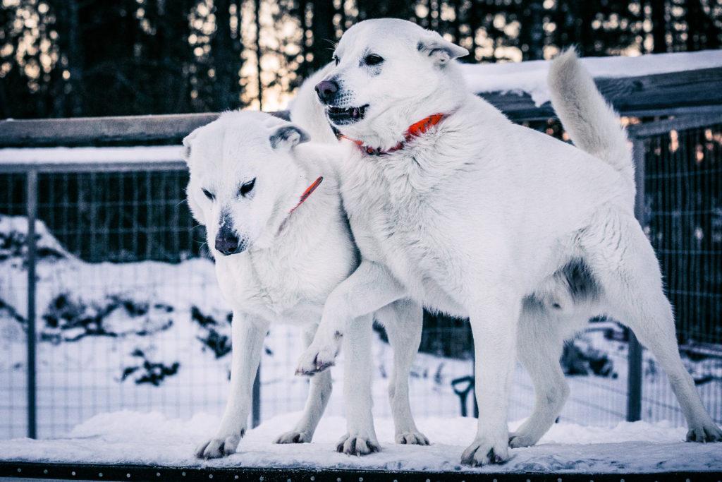 Valokuvaus, valkoinen koira.