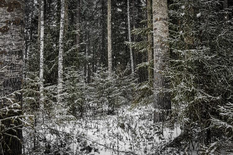Metsikkö lumisateessa.