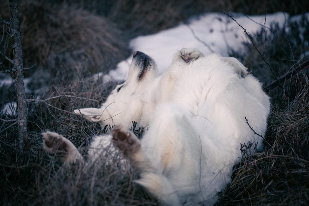 Valkoinen koira pyörii mättäässä.