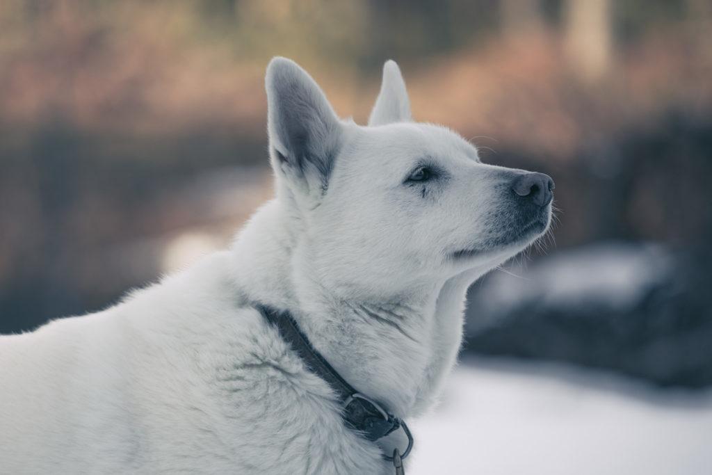 Valkoinen koira kevättalvella.