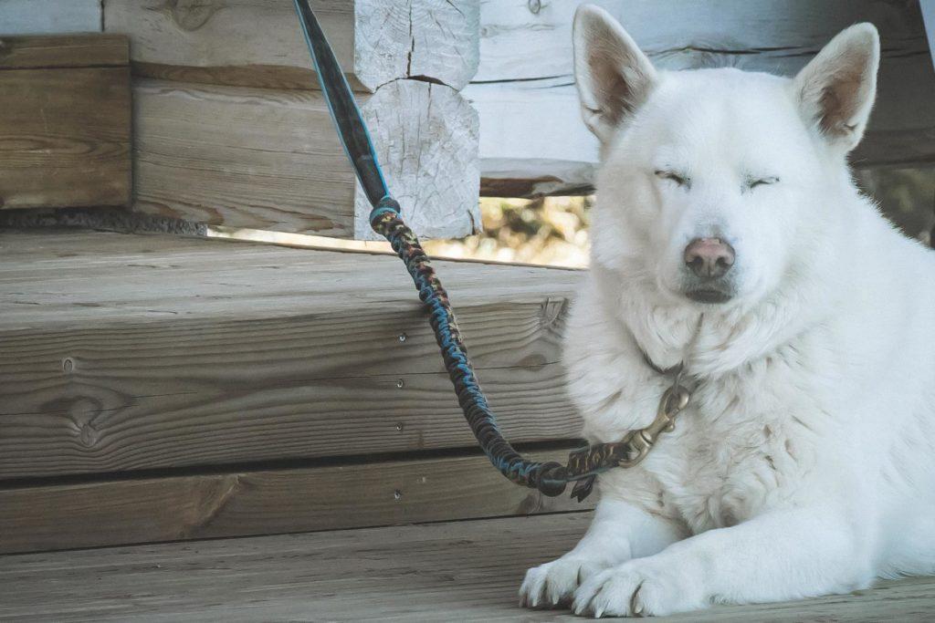 Valkoinen koira.