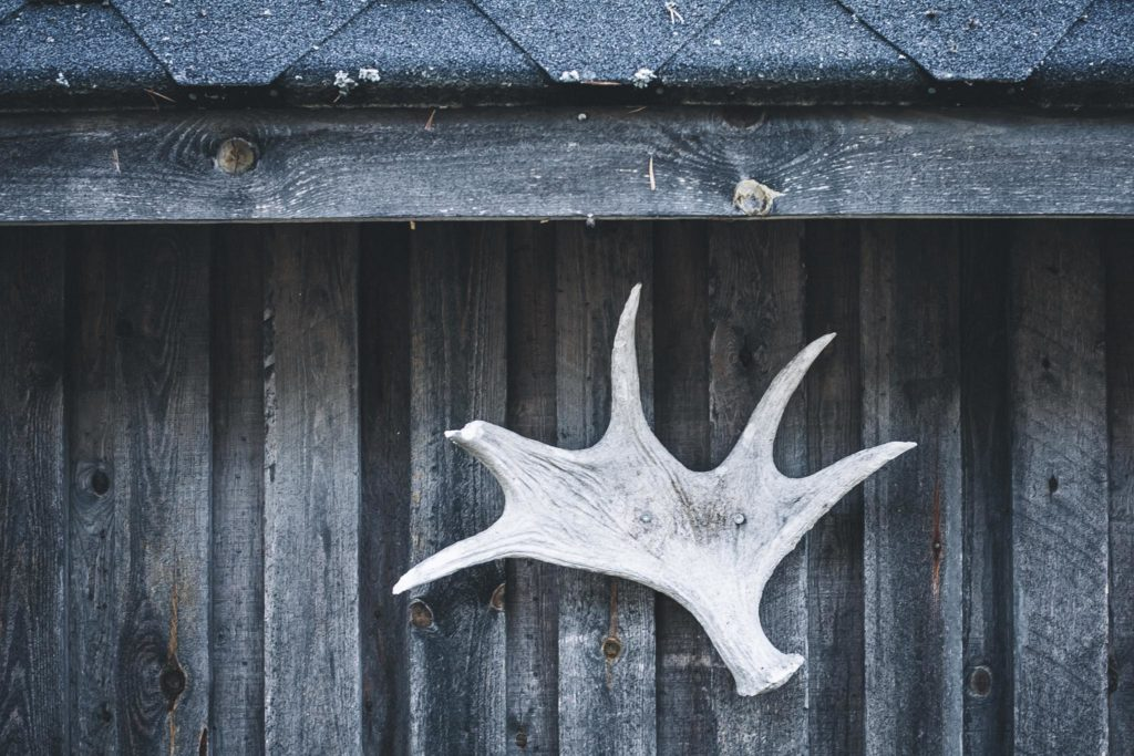 Hirvensarvi koristeena seinällä.