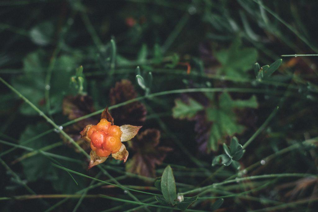 Oranssina hehkuva lakka.