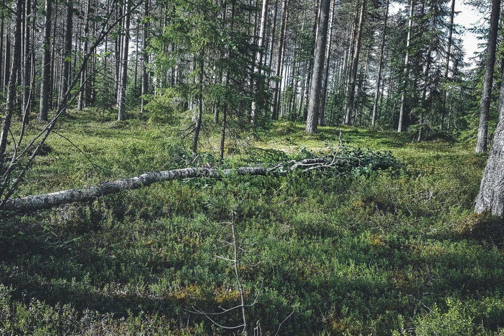 Päivö-myrskyn kaatama puu.