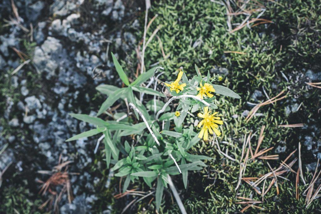 Keltaisia kukkia.