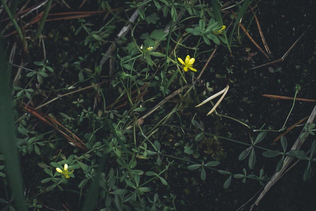 Keltaisia kukkia rantakivikossa.