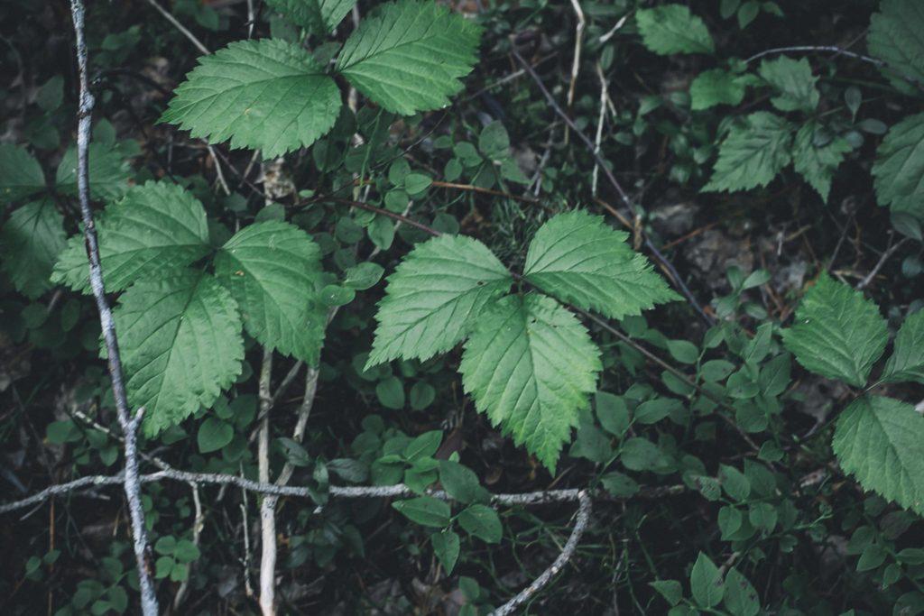 Lehtiä metsässä.
