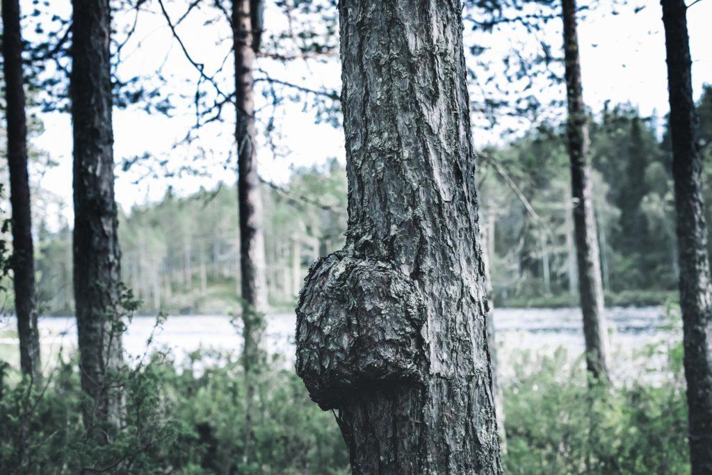 Pahka puussa.