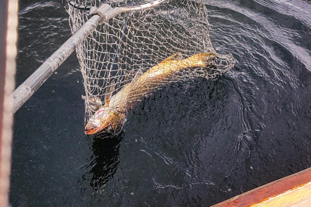 Kalastusreissun saaliina hauen vonkale.