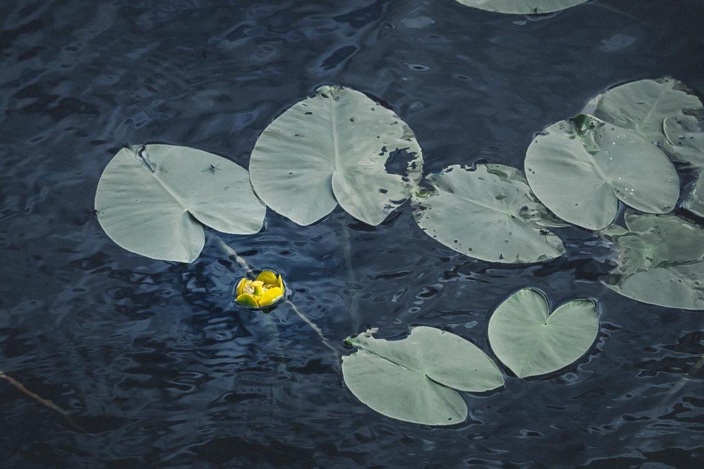 Ulpukka järvessä.