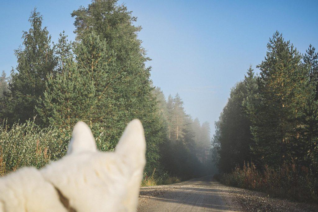 Valkoinen koira ja hentoa usvaa tiellä.