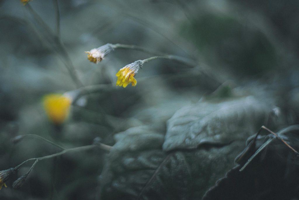 Kuurainen kukka syksyllä pakkasyön jälkeen..