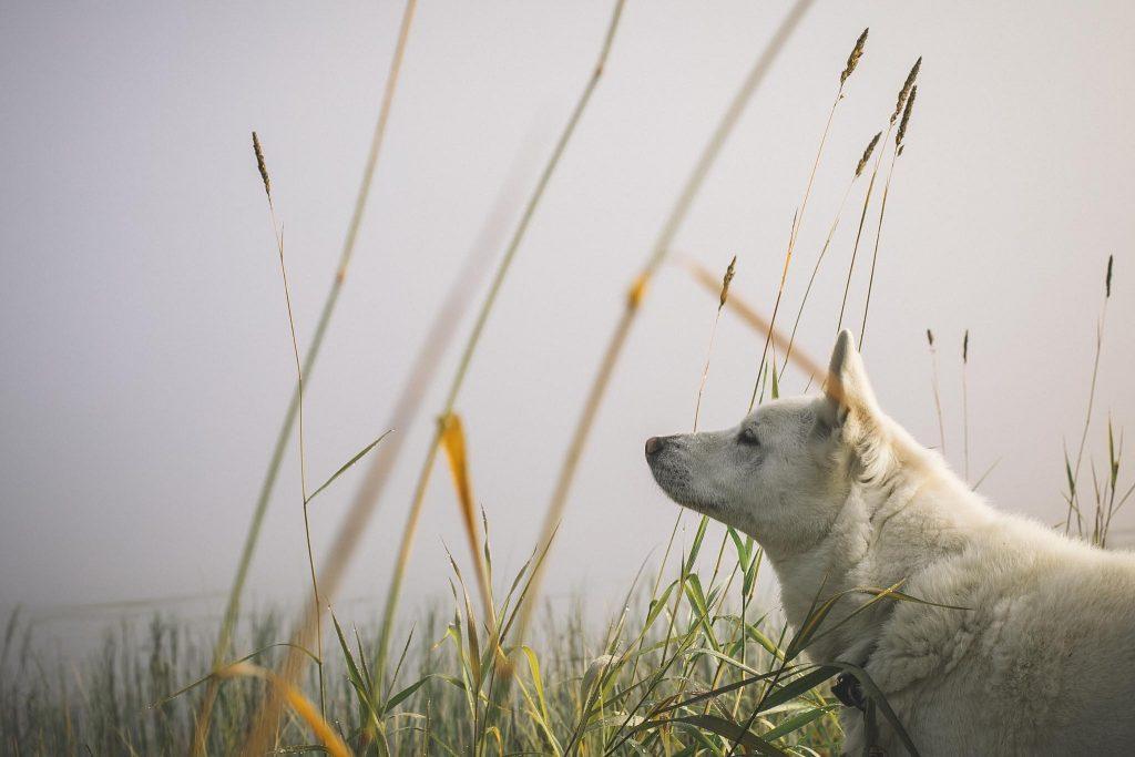Valkoinen koira ja aamu-usva.