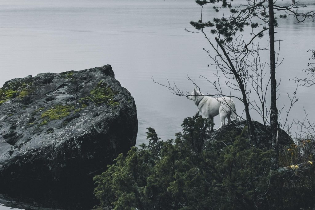 Valkoinen koira suunnittelee kivelle hypäämistä.