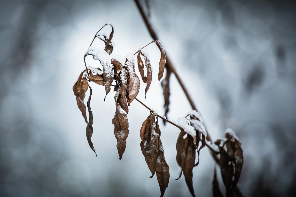 Lakastunut kasvi syksyn harmaudessa.