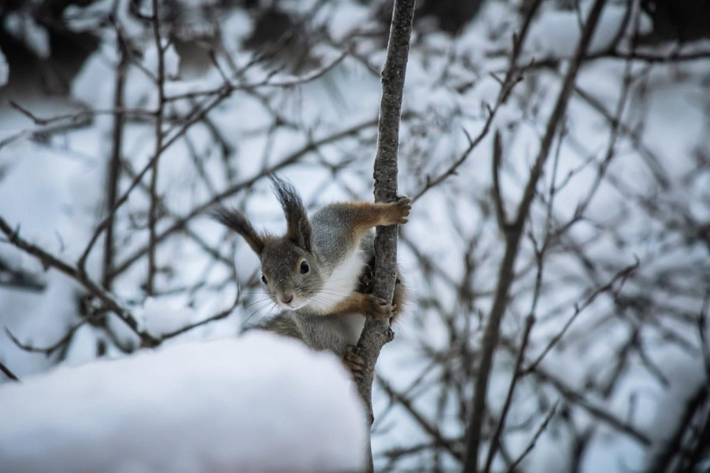 Orava lintulaudan vieraana.