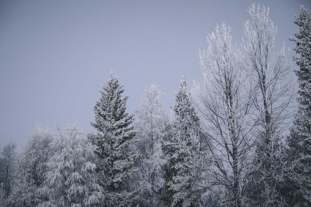 Pakkaspäivän huurruttamat puut.