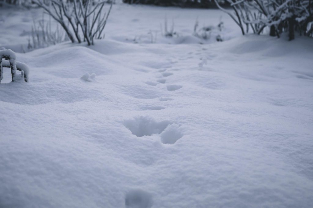 Pupun jäljet lumessa.