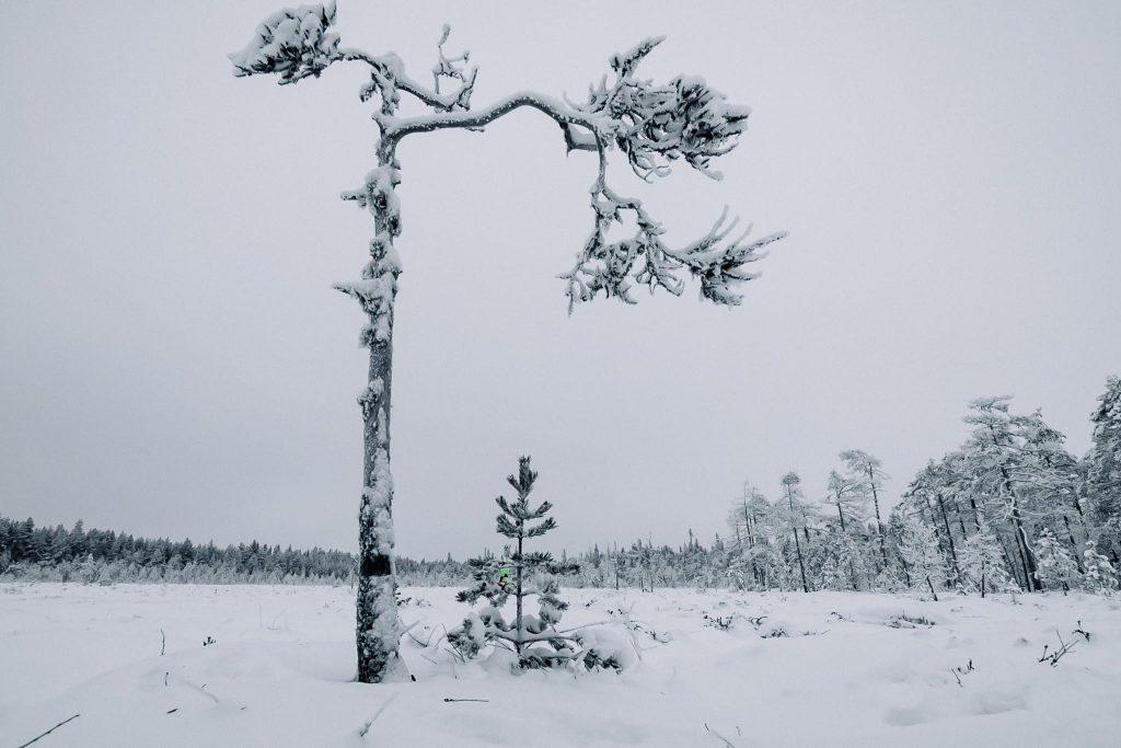 Yksinäinen puu suolla.