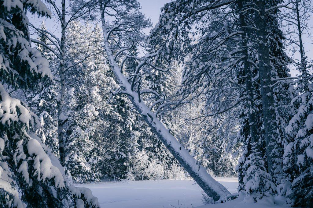 Kaareva puu Koitelinkoskilla.