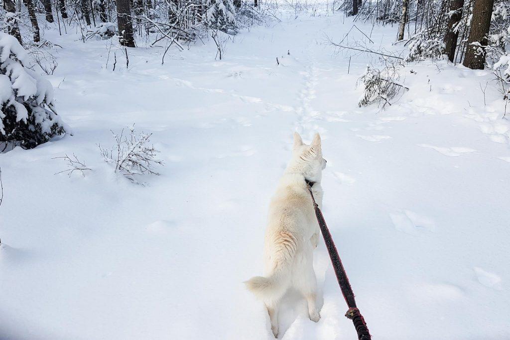 Valkoinen koira umpihangessa.