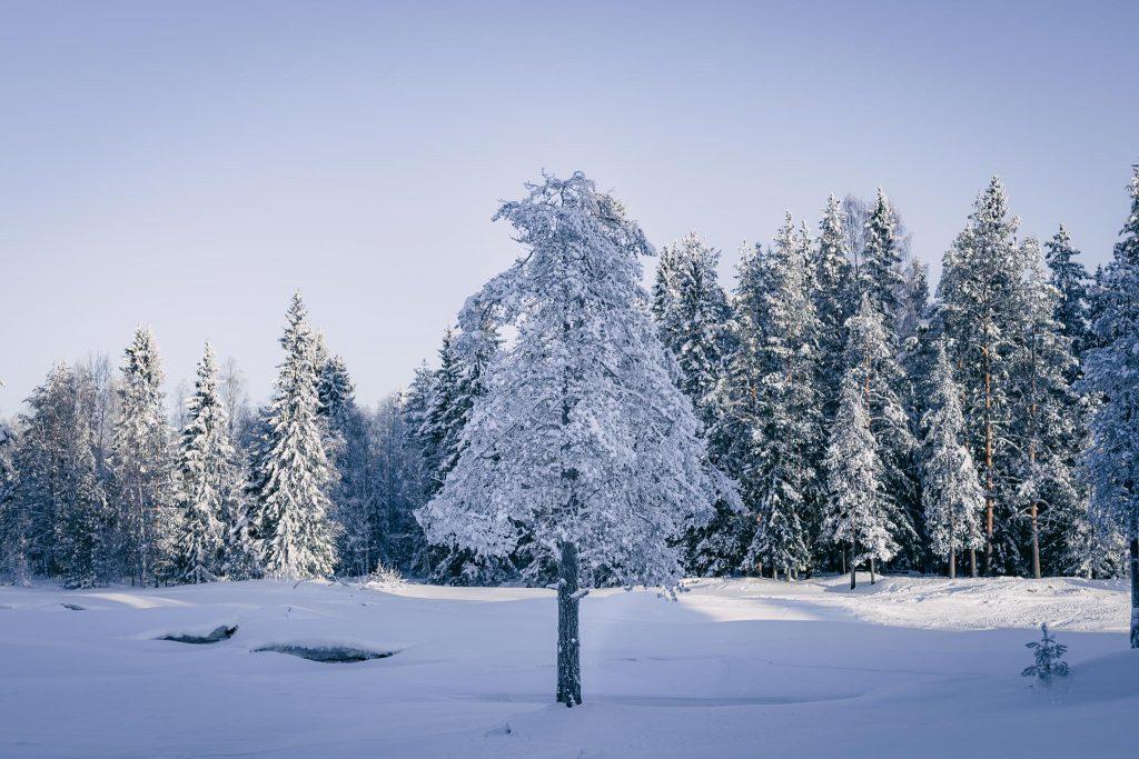 Yksinäinen puu Koitelinkoskilla.