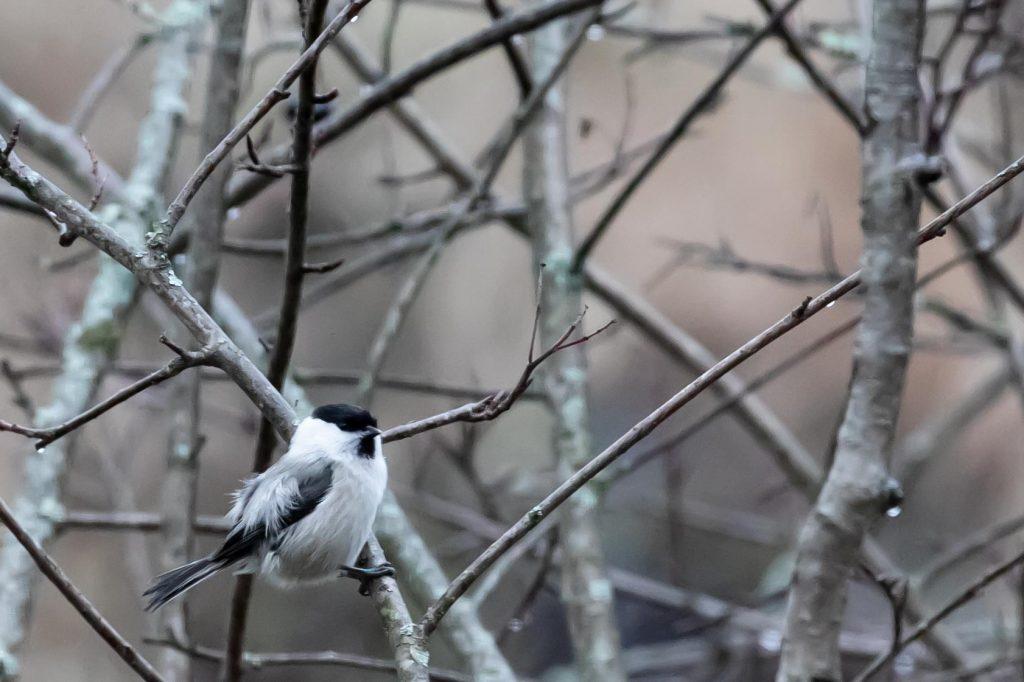 Lintujen talviruokinta, hömötiainen.