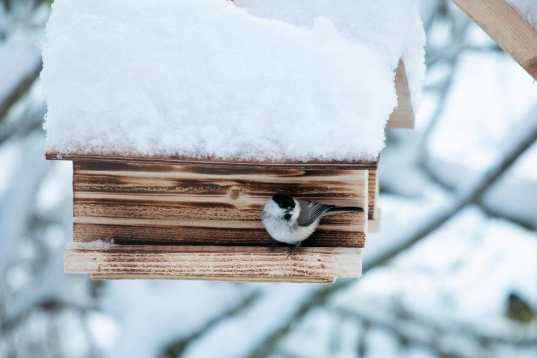 Lintujen talviruokinta ja bihabongaus, hömötiainen.