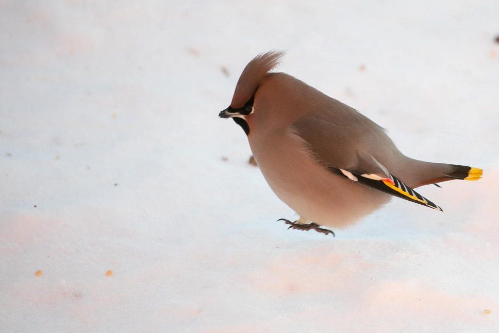 Lintujen talviruokinta ja bihabongaus, tilhi.
