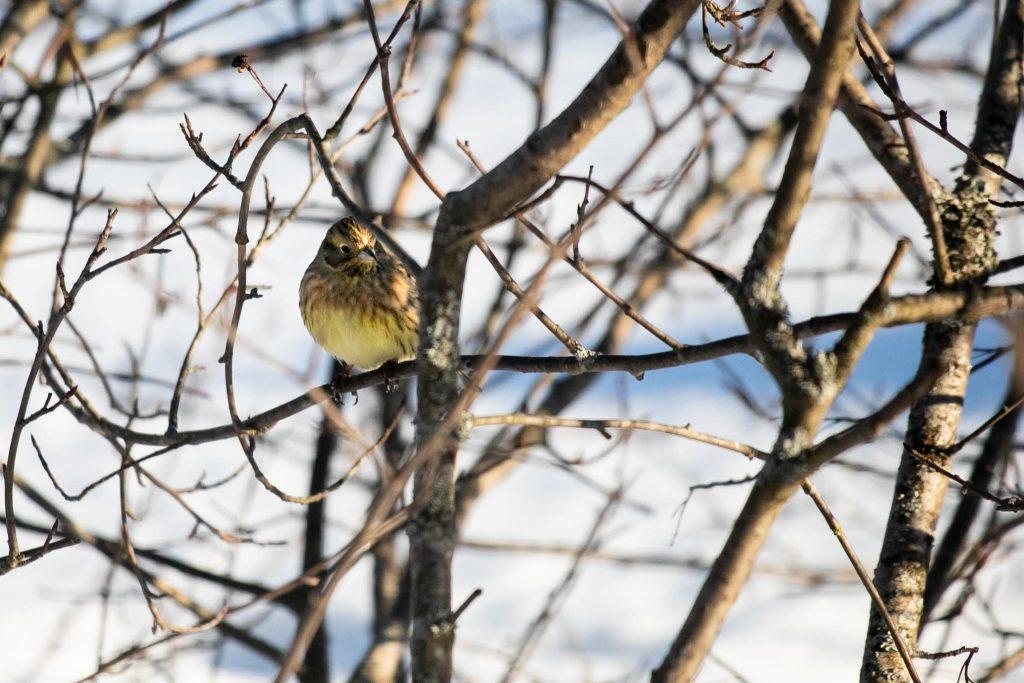 Lintujen talviruokinta ja bihabongaus, keltasirkku.