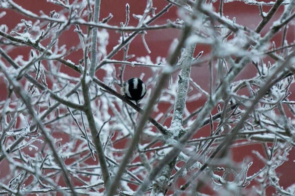 Lintujen talviruokinta ja bihabongaus, kuusitiainen.