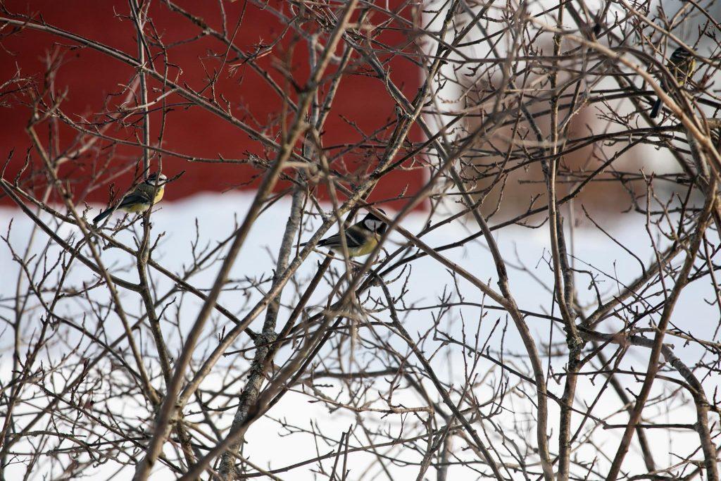 Lintujen talviruokinta, lintuja pensaassa.
