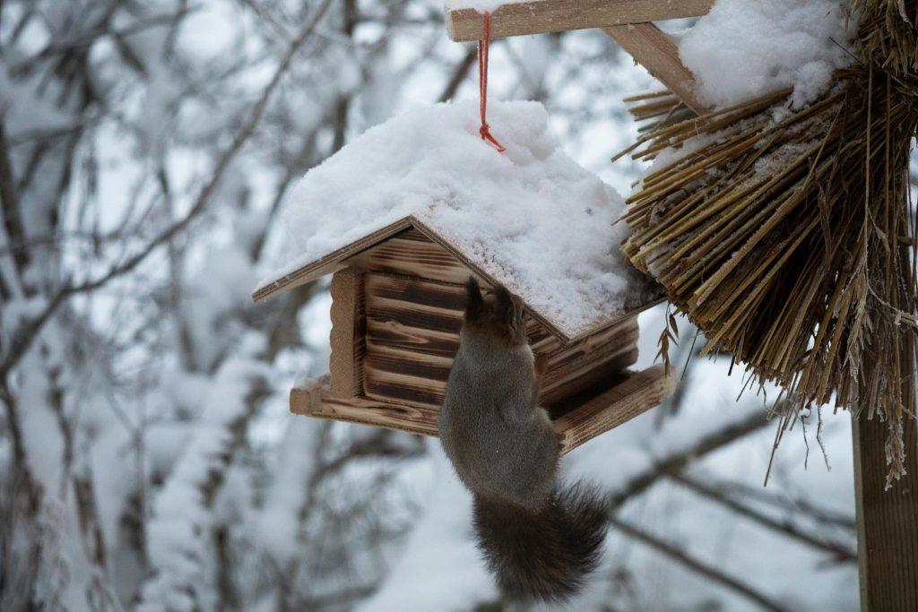 Orava lintulaudalla.