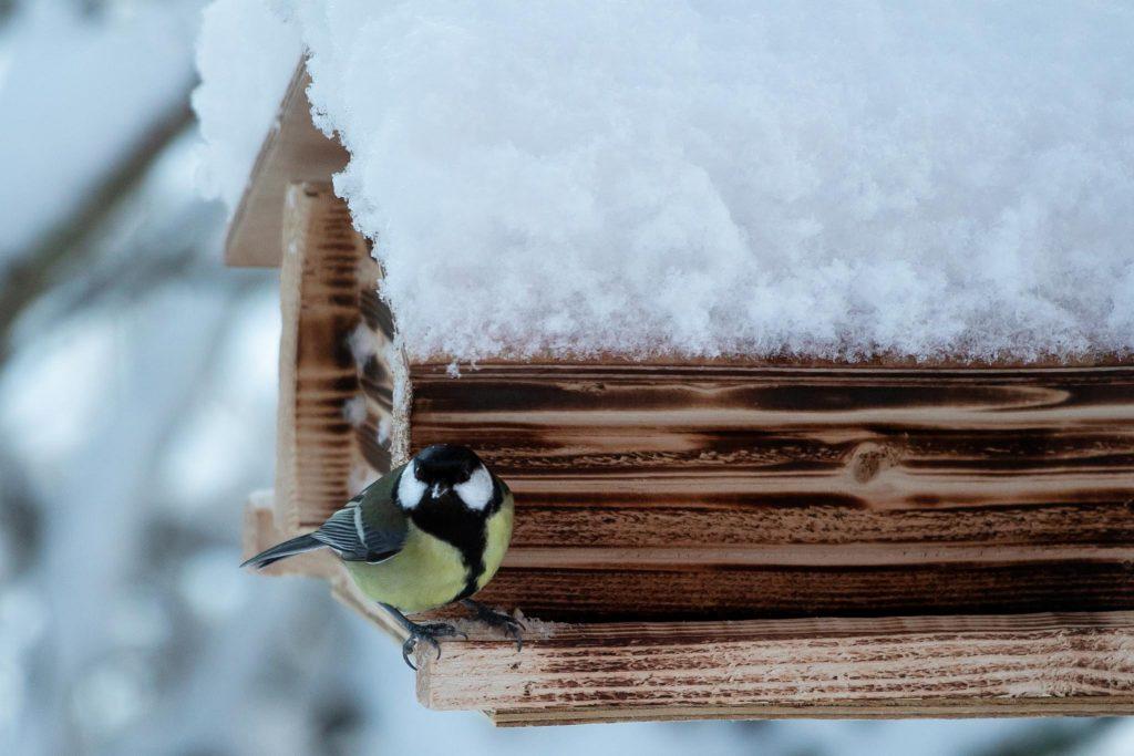 Talitiainen lintulaudalla.