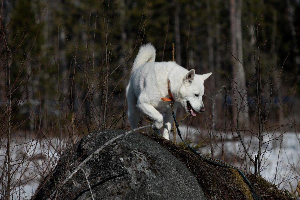 Valkoinen koira kivellä.