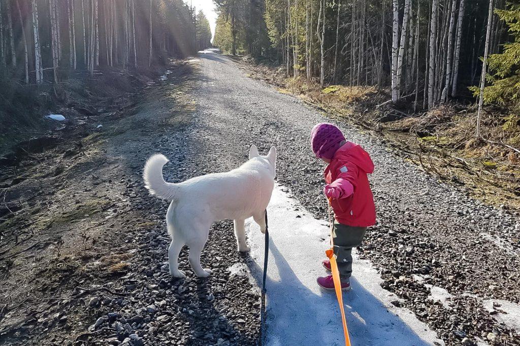 Iltakävelyllä koirien kanssa.